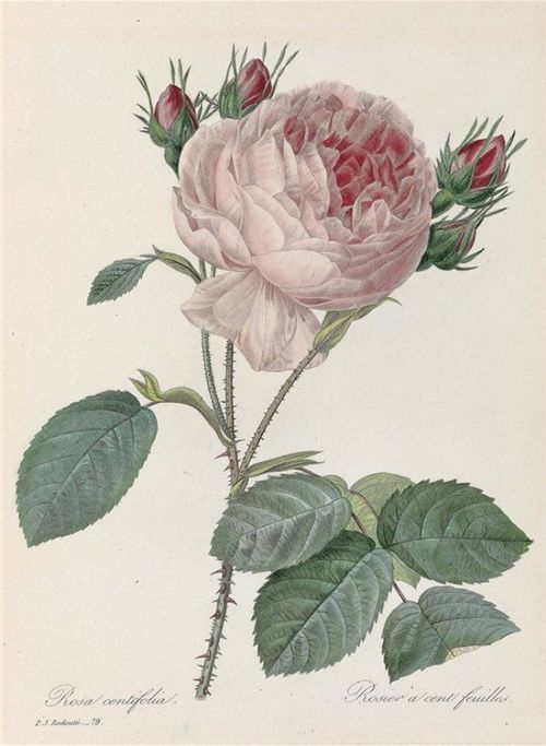 Pierre-Joseph Redouté,Rosa centifoglia, 1835.E. Panckoucke, Paris.France.