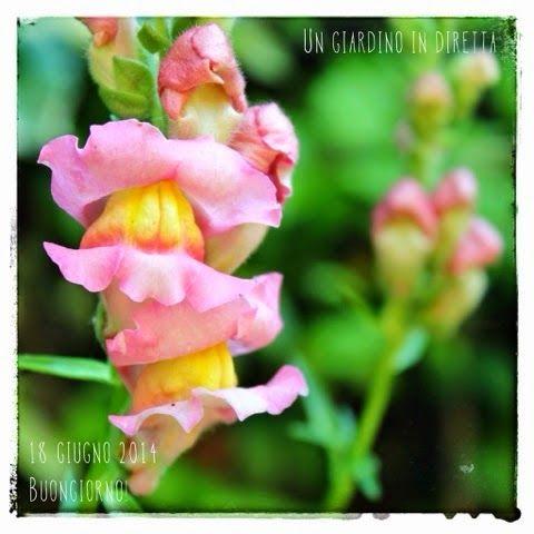 In diretta dal giardino: buongiorno! 267/365 Bocca di leone (Antirrhinum majus L.)  #giardino #giardinoindiretta #fiori