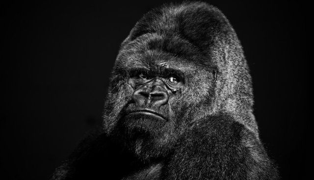 Zoo Vet Mistakes Employee In Gorilla Suit For An Actual Ape, Shoots Him With Tranquilizer