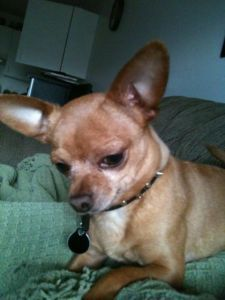 Date Listed 24-Jun-13 Address Grande Prairie, AB T8V 0P1, Canada  View map My 8year old very tiny intact male chihuahua has been missing since yesterday early afternoon. He was last seen entering the bike trails south of the crown and anchor. We live in the mission area so i hope he is close by. He is missed very much by my 19month old daughter. His name is Oliver, he is wearing a black spiked collar with his name and my phone number. . 250-793-1884