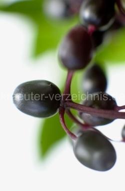 Anwendungsbeispiele und alte Rezepte rund um den Holunder