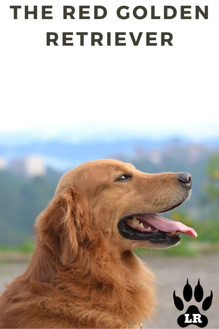 Red Golden Retrievers The Working Brother Red Golden Retriever