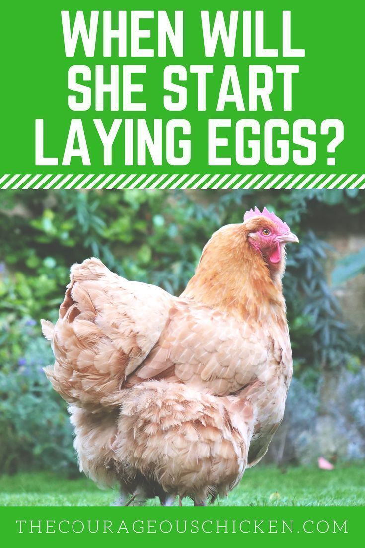 When Will My Chicken Start Laying Eggs The Courageous Chicken Egg Laying Chickens Backyard Urban Chicken Farming