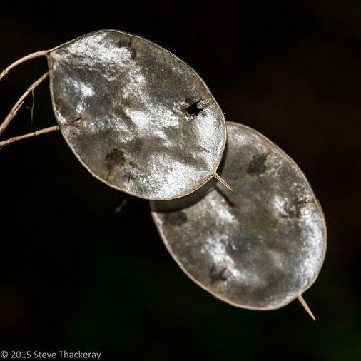 Honesty Seed Pods © Stephen Thackeray | Google+