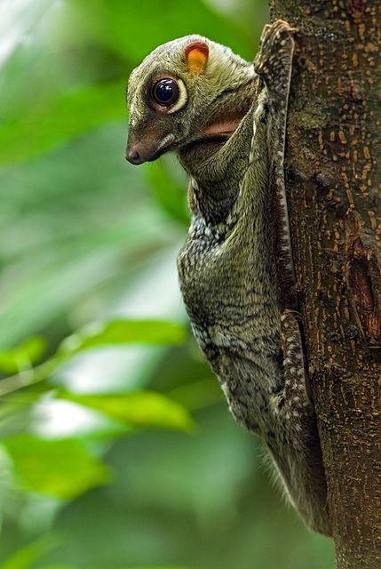 Malayan Colugo | Low C H, Flickr ✿⊱╮ Galeopyerus variegatus--The Sunda flying lemur--found throughout Indonesia, Thailand, Malaysia, and Singapore. It is NOT a lemur and it does NOT fly; it glides as it leaps among trees' canopies. It is a skillful climber but is helpless on the ground. Eats leaves mostly, but also buds, shoots, coconut flowers, fruits, and certain tree saps.