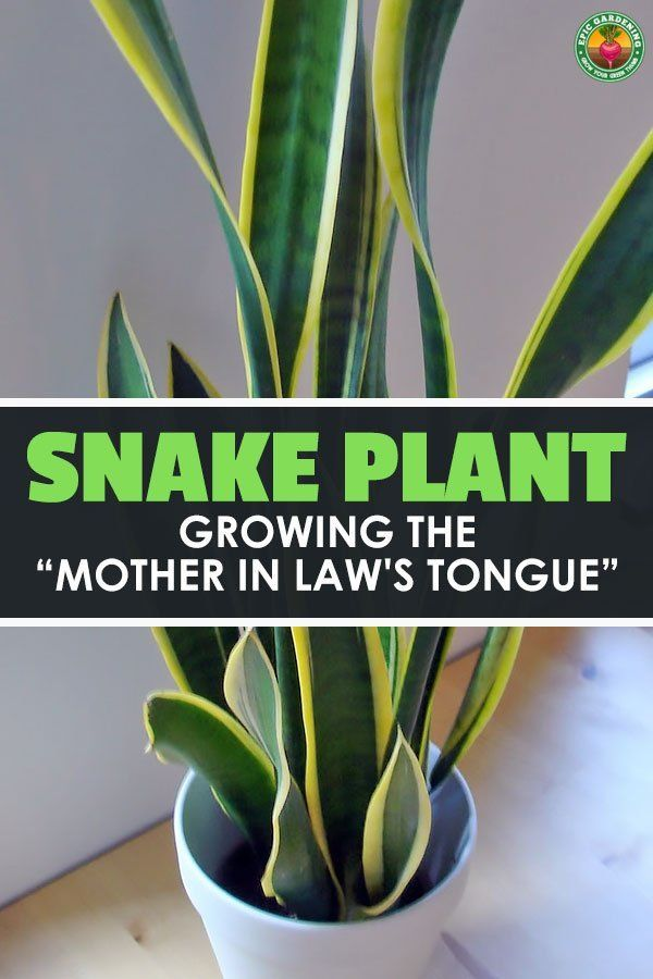 d895e460f075e58305800839ebcf4418 - How To Get Rid Of Mother In Law Tongue Plants