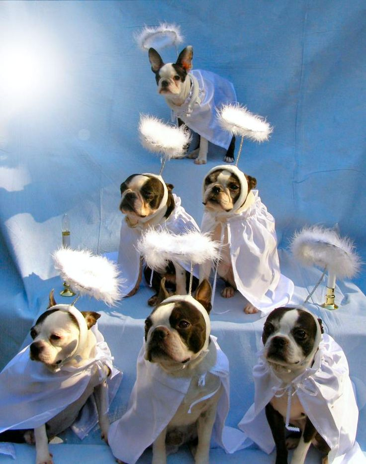 Boston Terrier Angels waiting to greet newcomers at the Rainbow Bridge.
