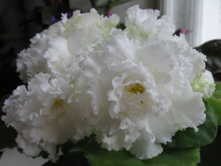 РМ-Королевские Кружева (Н.Скорнякова) Очень крупные белые махровые воздушные цветы с гофрированным краем и легким желтым глазком. Зеленые листья. Очень красивые цветы.