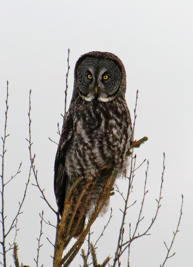 Owl we seen while ski-dooing at Emma Lake