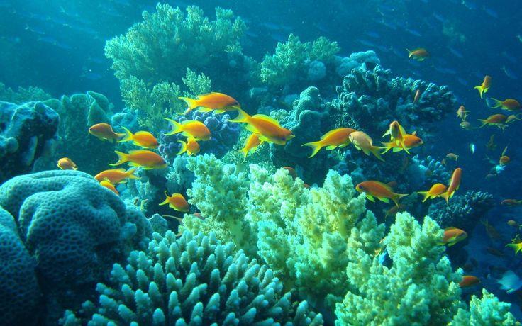 Zvířata tapeta č.: 41954   podmořský svět, korály, ryby, egypt ...
