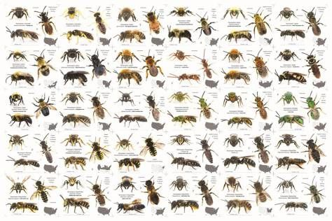 Did you know there are so many different bees? Doesn't mean we can afford to lose any of them.