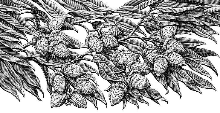 Almonds_HighRes.jpg (2048×1062)