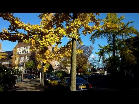 Ginkgo biloba trees in fall. Location Guido Gezellestraat, Amsterdam, the Netherlands.   This video can be watched in HD-quality.  I made this recording on October 31, 2011.  More info and photos on my website The Ginkgo Pages:  http://kwanten.home.xs4all.nl/