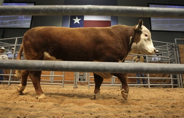 A bull shows off for potential buyers at Reliant Arena. Photo by Melissa Phillip / Houston Chronicle