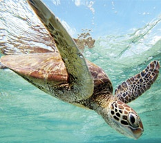 Green Turtle, Lady Elliot Island - Queensland visitfrasercoast.com