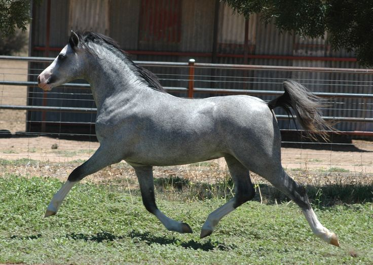 horse-breeds - W - Welsh Mountain Pony - Page 2