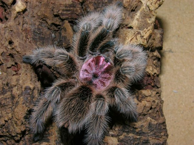 The Chilean Rose Tarantula, also known as the Rose Hair Tarantula, the Chilean fire Tarantula or the Chilean Red-Haired Tarantula, is probably the most common species of Tarantula available in American and European pet stores today, due to the large number of wild-caught specimens exported cheaply from their Native Chile into the pet trade. The species is also known from Bolivia and Argentina.
