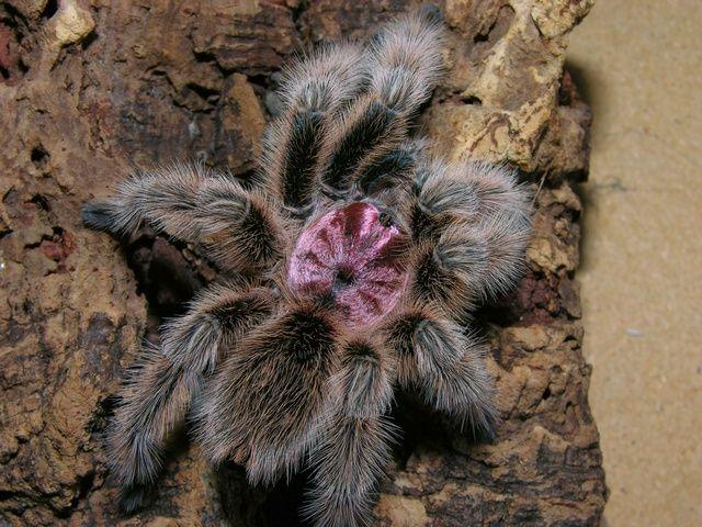 Chilean rose tarantula                                                       …