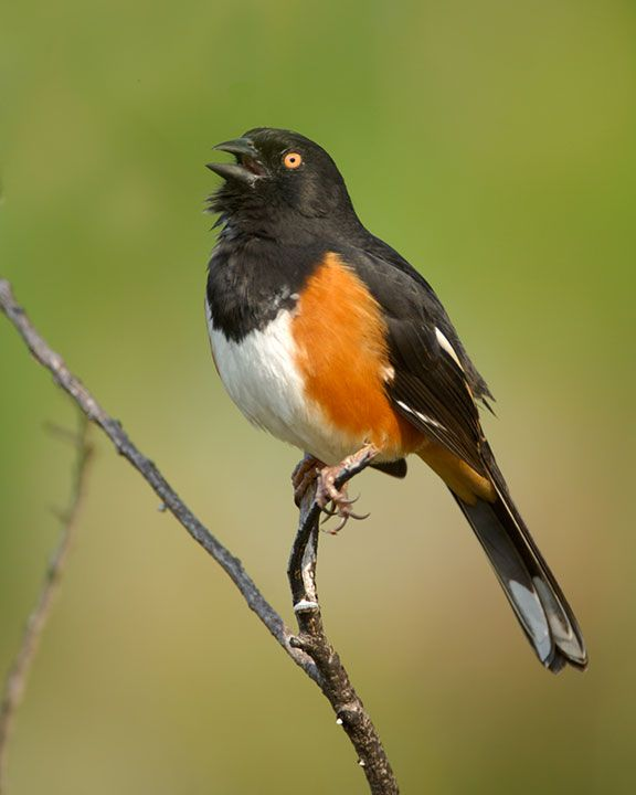 66 Best Images About Georgia Birds On Pinterest