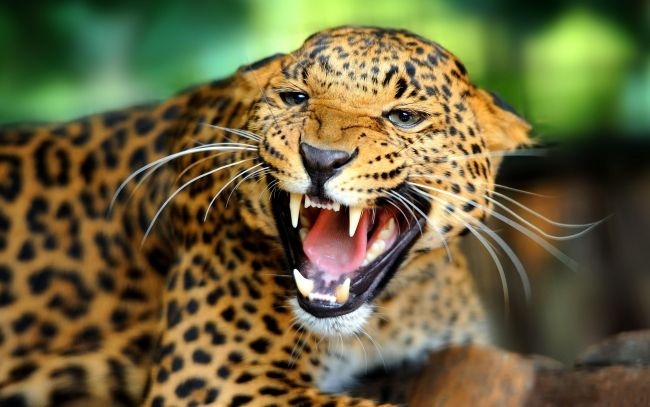 Leopard angry Wallpapers Pictures Photos Images