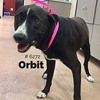 Pictures of Orbit a Labrador Retriever for adoption in Alvin, TX who needs a loving home.