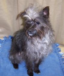 Yorkie dogs, Yorkshire terrier and Yorkie on Pinterest Yorkshire Terrier 911