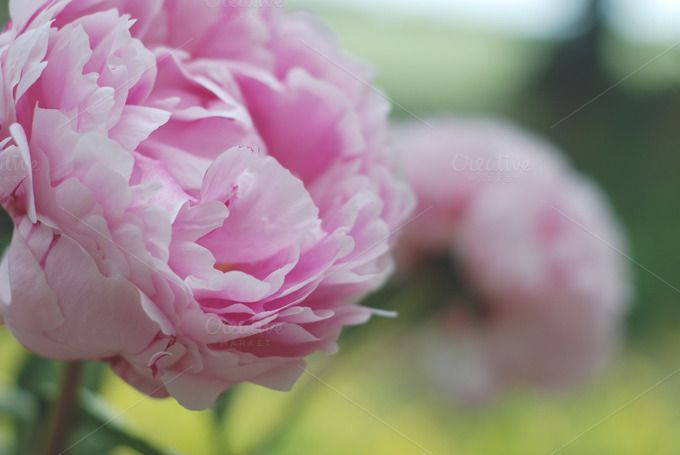 Beautiful peonies by Kadi on Creative Market