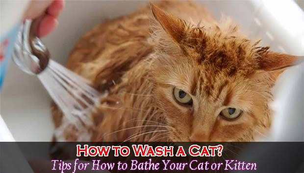 How To Wash A Cat Tips For How To Bathe Your Cat Catsfud Cats Cat Bath Tips