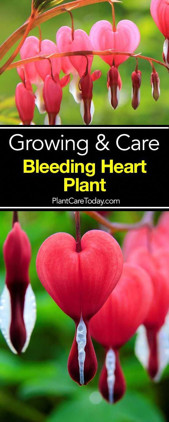 How To Grow And Care For The Bleeding Heart Plant Bleeding Heart Plant Bleeding Heart Bleeding Heart Flower