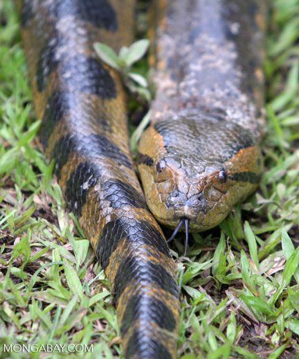 Close up of the Green anaconda (Eunectes murinus), the world's longest snake.Amazon rainforest