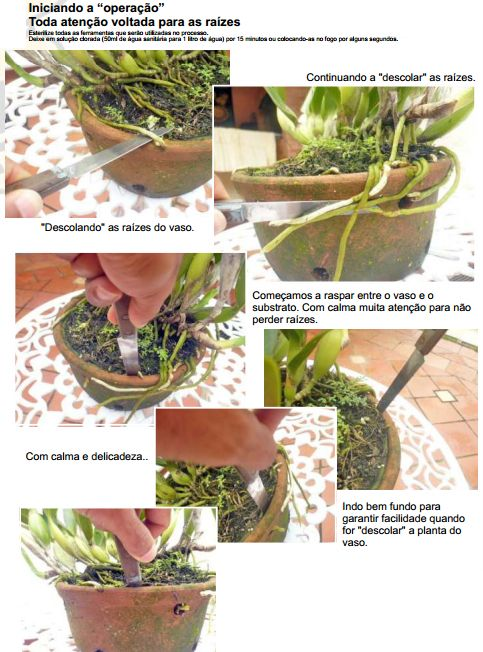 Paixão por orquídeas - Meu orquidário: Fazendo mudas de orquídeas - Parte I: Divisão de touceira