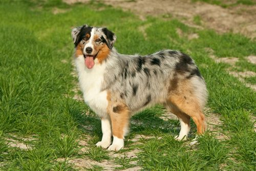 Australian Shepherd Grooming, Bathing, and Care