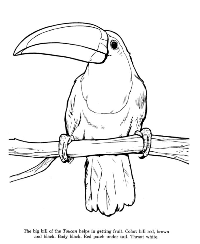 Toucan drawing and coloring page