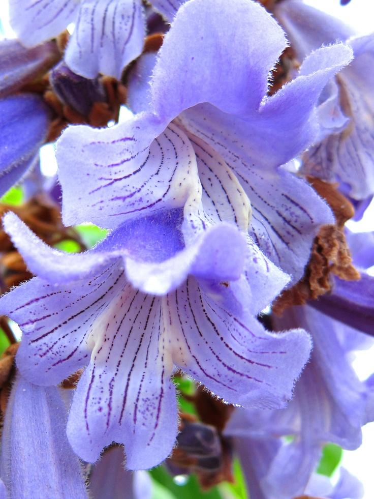 桐の花…Paulownia