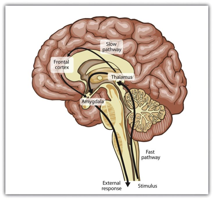 A normal response to stimuli send messages through the neocortex to be categorized. In an amygdala hijacking, the stimuli goes straight through the amygdala and the reaction is laced with fear and self-preservation.