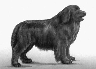 Newfoundland: Newfoundland Animal, Newfoundland Dogs, Luv Newfoundland, Adorable Dogs, Animal Attraction, Animal 3, Newfoundland Pet, Art Newfoundland, Dogs Baby