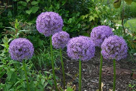 Gobemaster allium - can't wait to see these come up this spring in my mailbox garden!