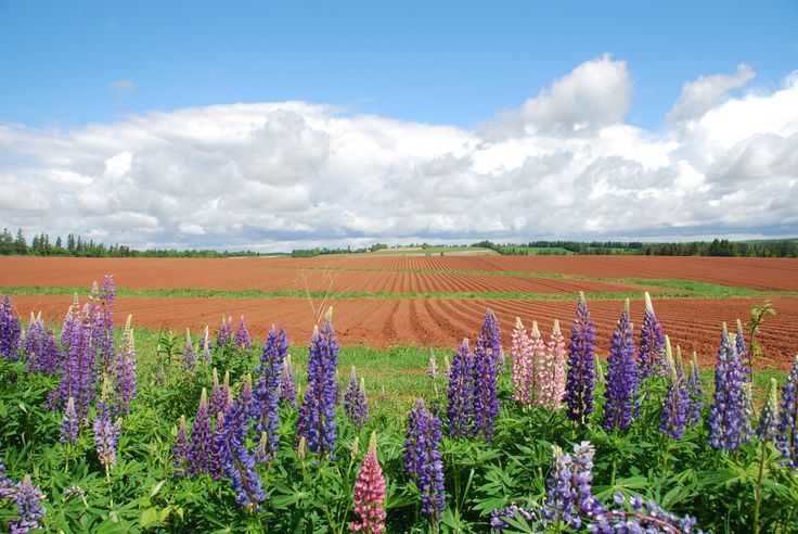 Blanket of Lupins  Location: Across from The Red Rooster restaurant, Prince Edward Island Submitted by: Marie W.