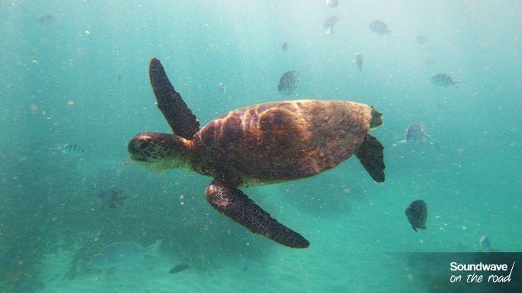 Green turtle, Gnaraloo, Western Australia