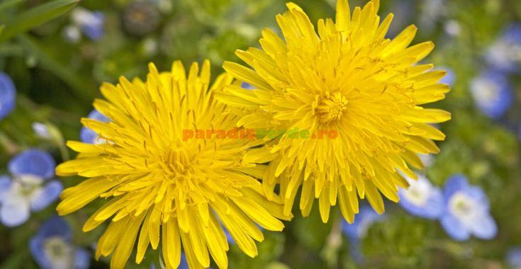 Binecunoscuta păpădie și puțin cunoscutele ei beneficii pentru sănătate | Paradis Verde