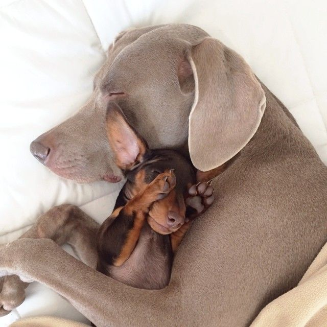 Harlow the Weimaraner and Indi the Dachshund Are Best Of Friends *