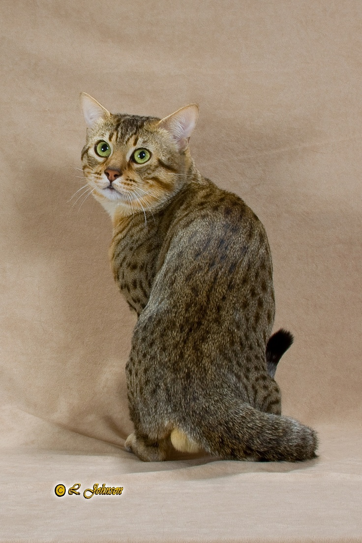 65 best Cat | Breed | Egyptian Mau images on Pinterest | Egyptian ...