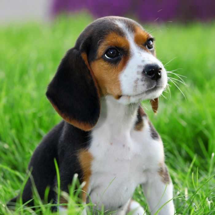 Beagle Puppies. She even looks a lot like our Molly.