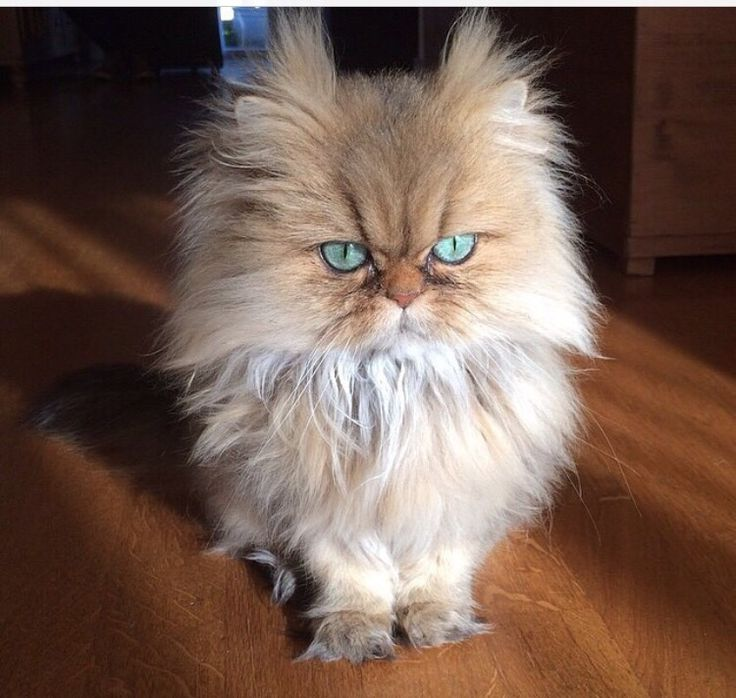 Best animals images on pinterest fluffy pets funny
