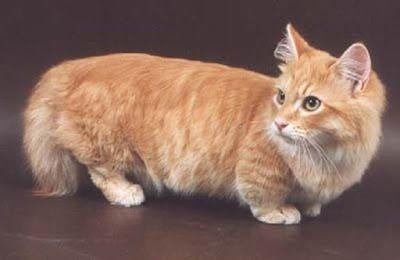 Teacup Munchkin Cats | Munchkin Cat