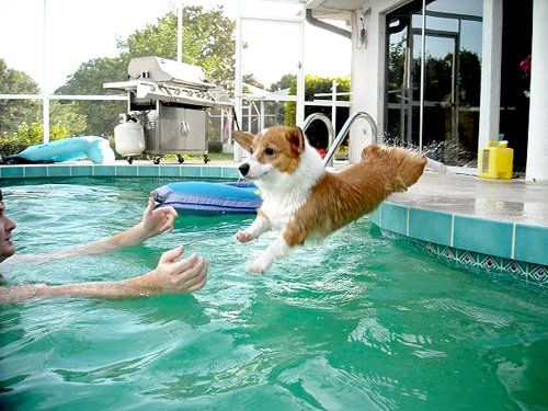 Dive, Corgi, dive! Good dog!