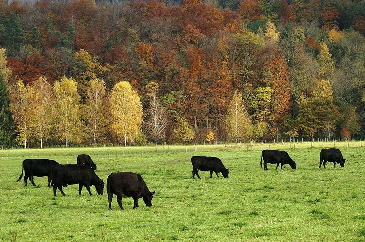 How to Raise Black Angus Cattle -- via wikiHow.com