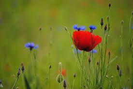 le bleuet fleur - Google'da Ara