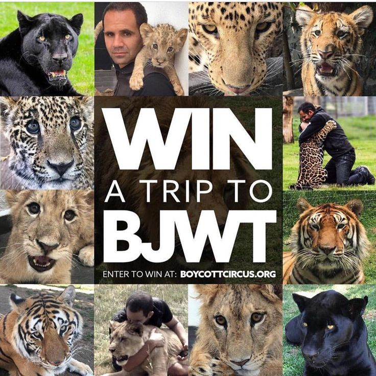 WIN A TRIP TO BJWT. Donate by getting your ticket to the @blackjaguarwhitetiger Foundation and enter a raffle to win a trip to BJWT.  Winner will receive ONE paid trip to The Black Jaguar-White Tiger Foundation hosted by Jamie @boycottcircus. Winner announced on Facebook Live Friday, June 30, 2017. Winner can be from anywhere in the world, 18 years or older. Flight, hotel, dinners, Starbucks, transportation and two days at Stage 1 and 2/2B included. Also, you can invite one guest (At your…