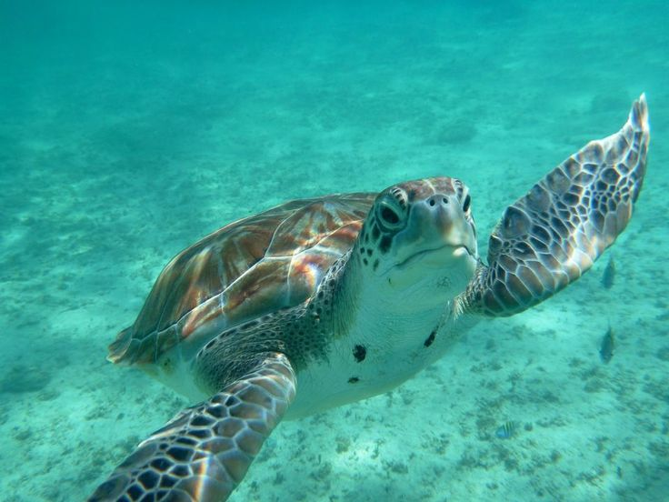Green Turtles, Green Turtle Pictures, Green Turtle Facts ...